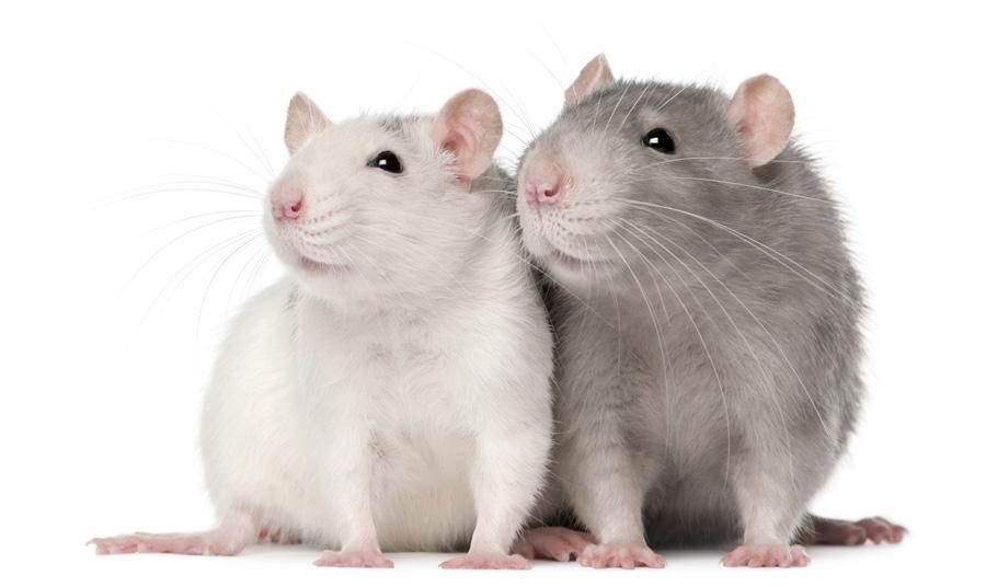Rotter og mus