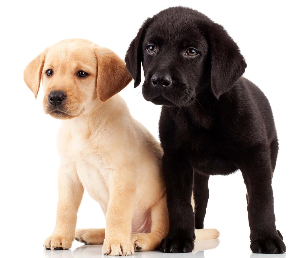 Inseminasjon av hund